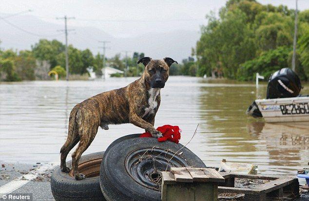 Dog in Queensland flood tamborinedailystar.com