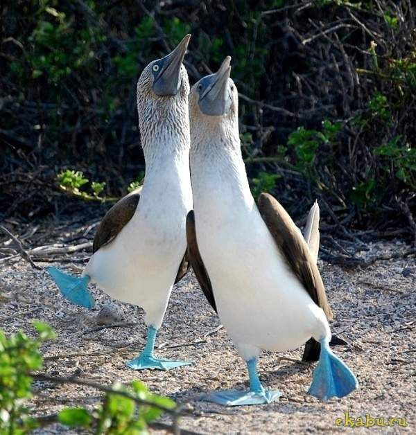 Blue Footed Boobies They Have No Natural Enemies, Which Makes Them Pretty Calm