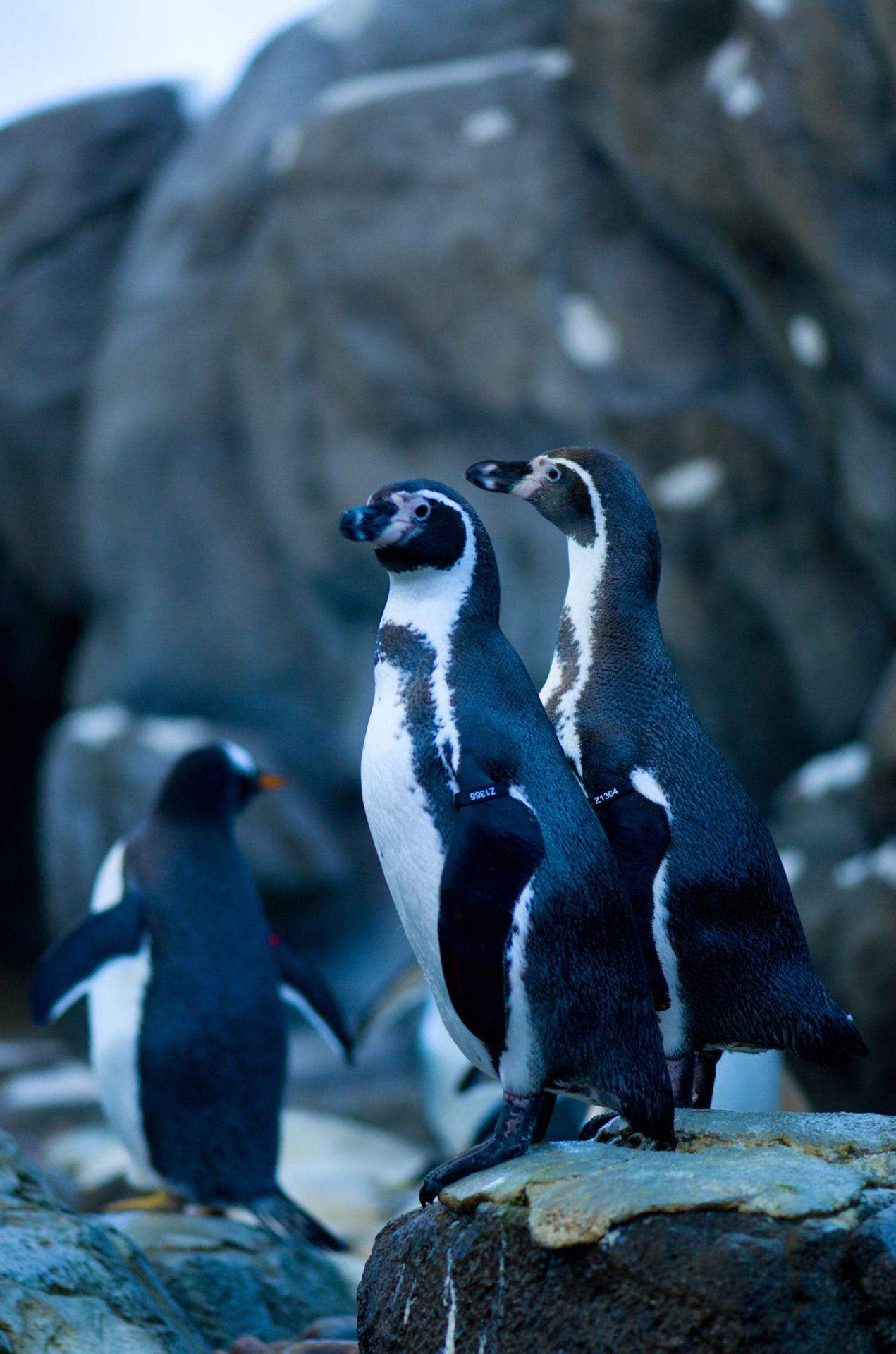 Penguins   KSI Photography