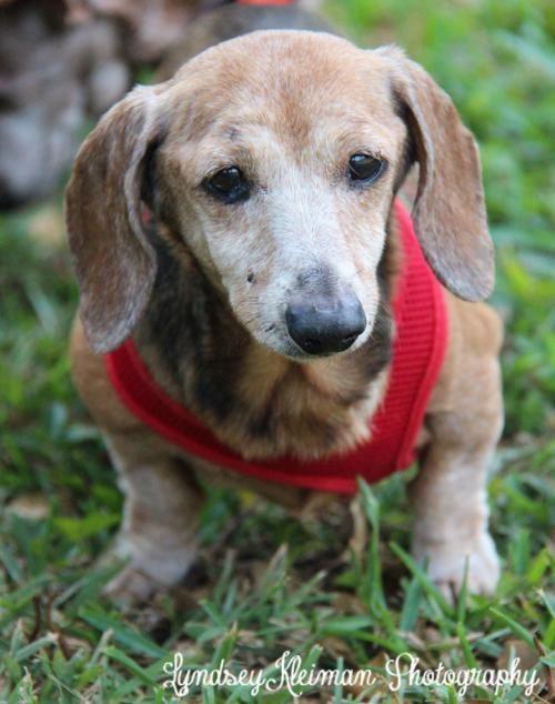 Adopt Gg On Adoptable Dachshund Dog Dachshund Love Cute Animals