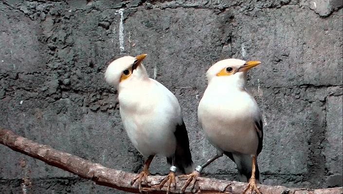 Perbedaan Ciri Ciri Burung Jalak Pito Jantan Dan Betina Gambar Burung Burung Gambar