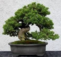 I Want A Garden With A Bunch Of Bonsi Trees Bonsai Garden Bonsai Tree Bonsai