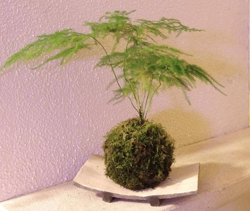 """Live Plant Shipped in 3/"""" Pot Florist Fern PLUMOSUS FERN ASPARAGUS SETACEUS"""