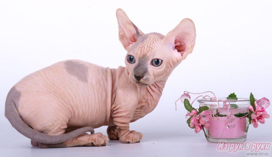 Bambino Cats Bambino Kittens Different Colors Bambino Cat Bambino Kitten Devon Rex Cats