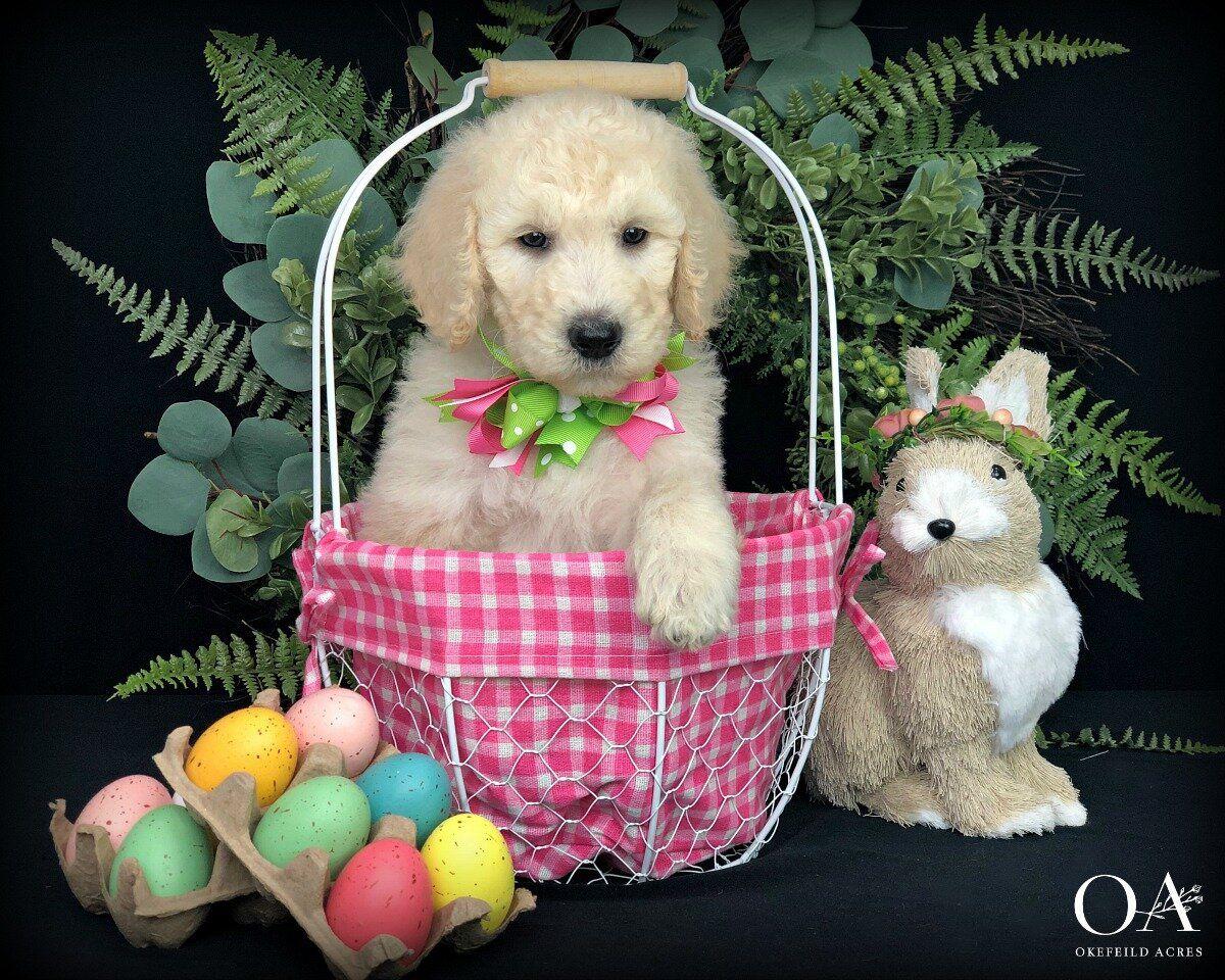 Bella Okefeild Acres Teddybear Standard Goldendoodle Puppies In 2020 Goldendoodle Puppy Goldendoodle Standard Goldendoodle