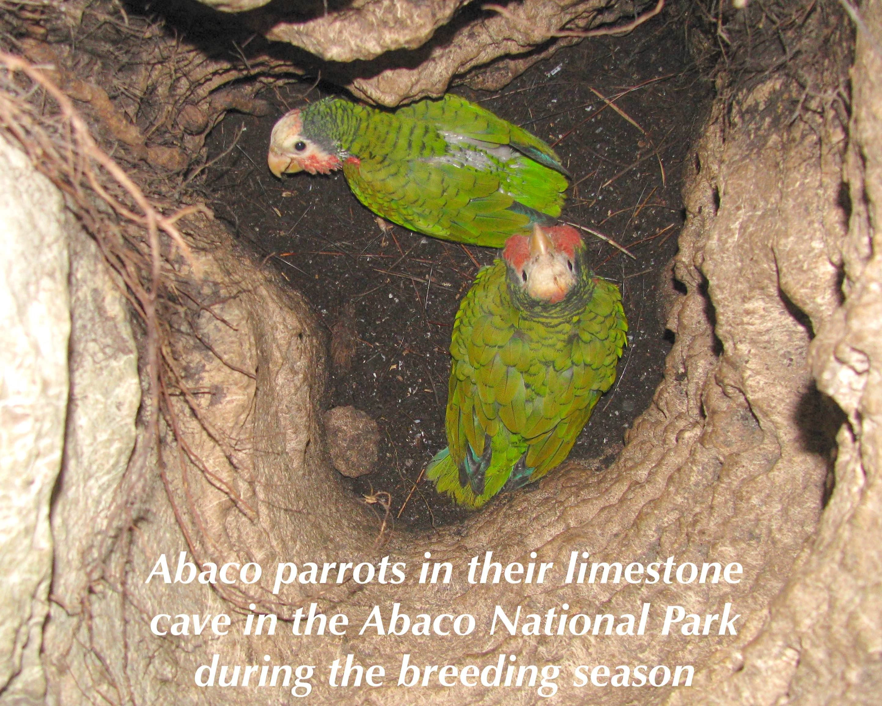 The Symbol Of A Resilient Bahamas Bahama Parrots