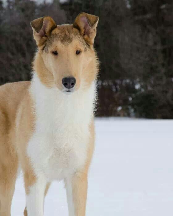 Smooth Sable Collie Looks So Pristine And Gorgeous Against The