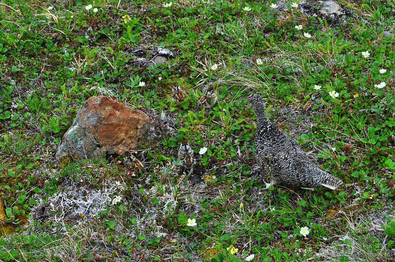 A Ptarmigan And Five Chicks Exhibit Exceptional Disruptive