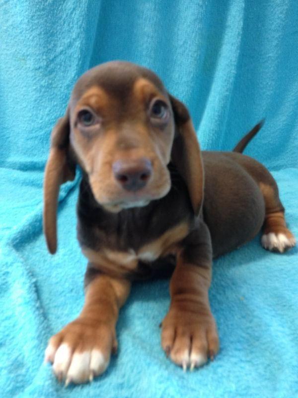 Adopt Basset Beagle Dachshund Puppies 4 On Dachshund Puppies