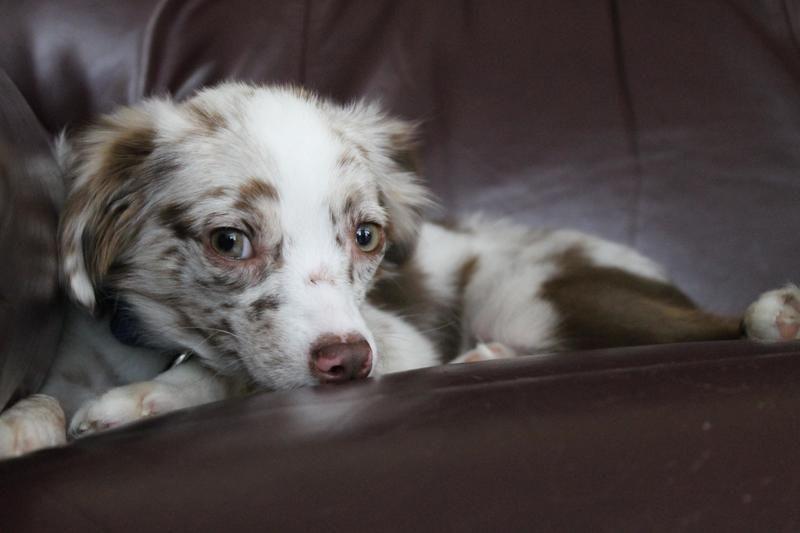 Adopt Jeter Toy Aussie On Toy Australian Shepherd Toy Aussie