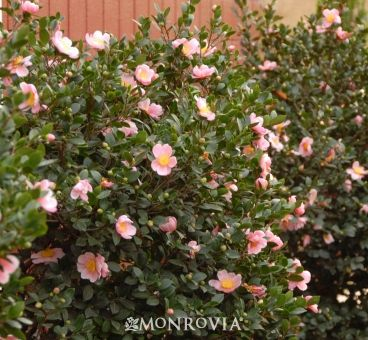 Monrovia S Pink A Boo Camellia Details And Information Learn