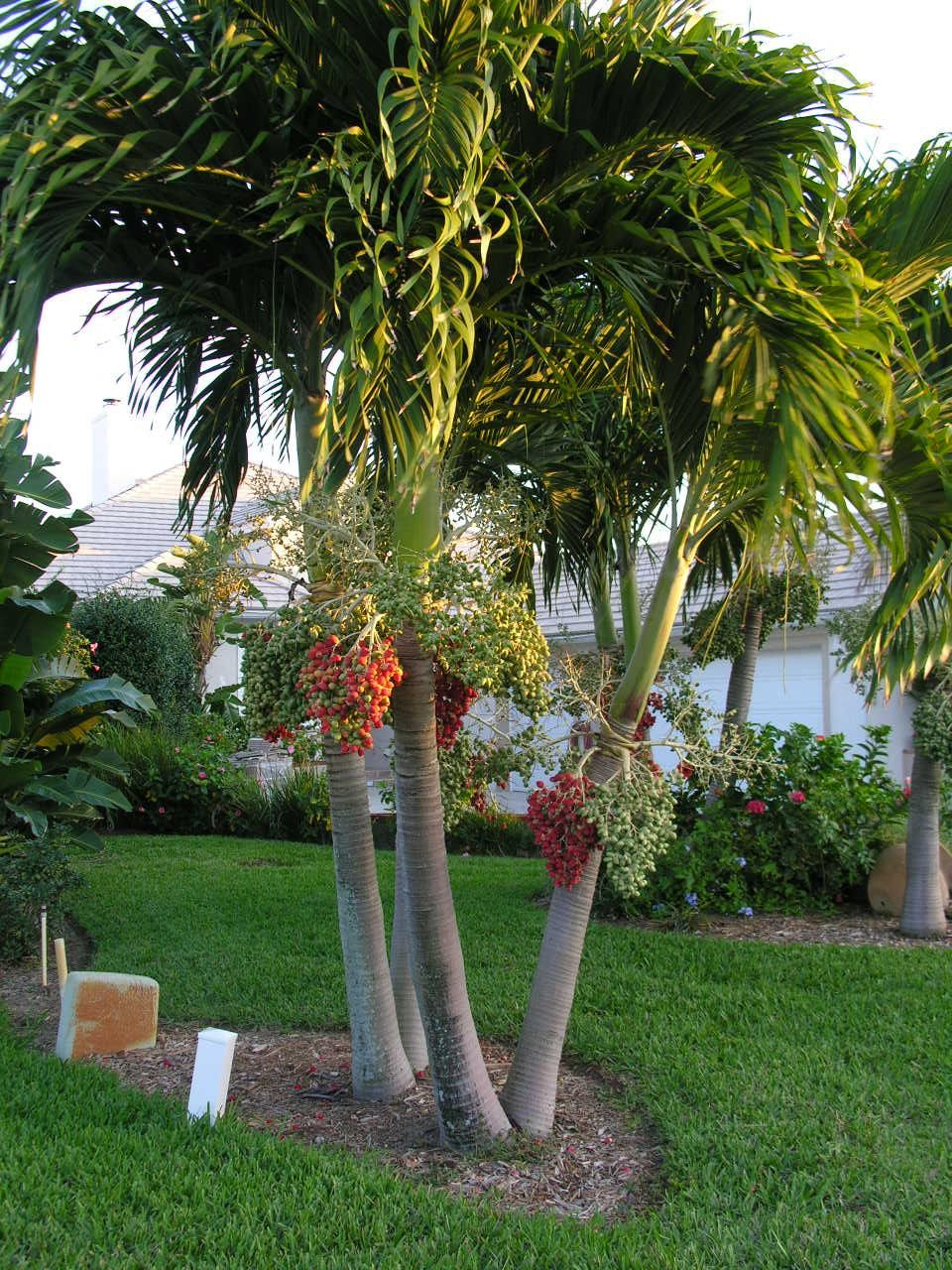 Christmas Palm - a.k.a. Adonidia Palm, Manila Palm, Dwarf Royal ...