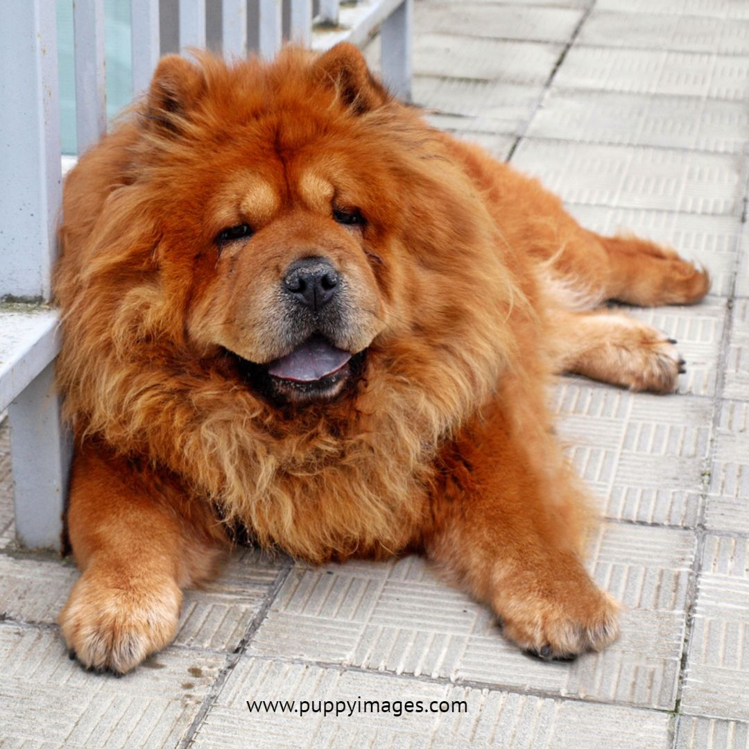 Brown Chow Chow Dog Resting With Images Chow Chow Dogs Chow
