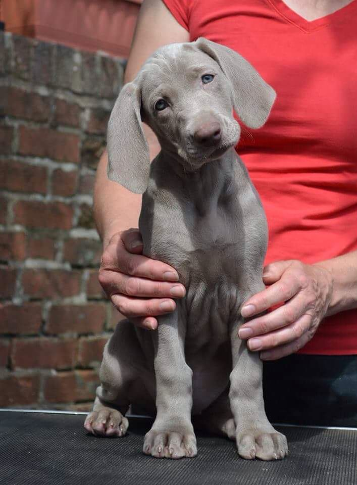 Weimaraner puppy Hope you're doing well.From your friends ...