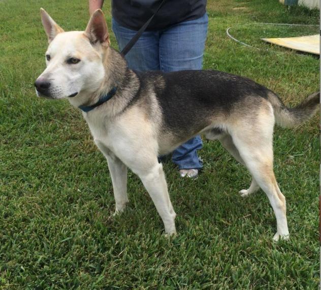 Adopt Balto On Dog Mixes Dogs Shepherd Dog