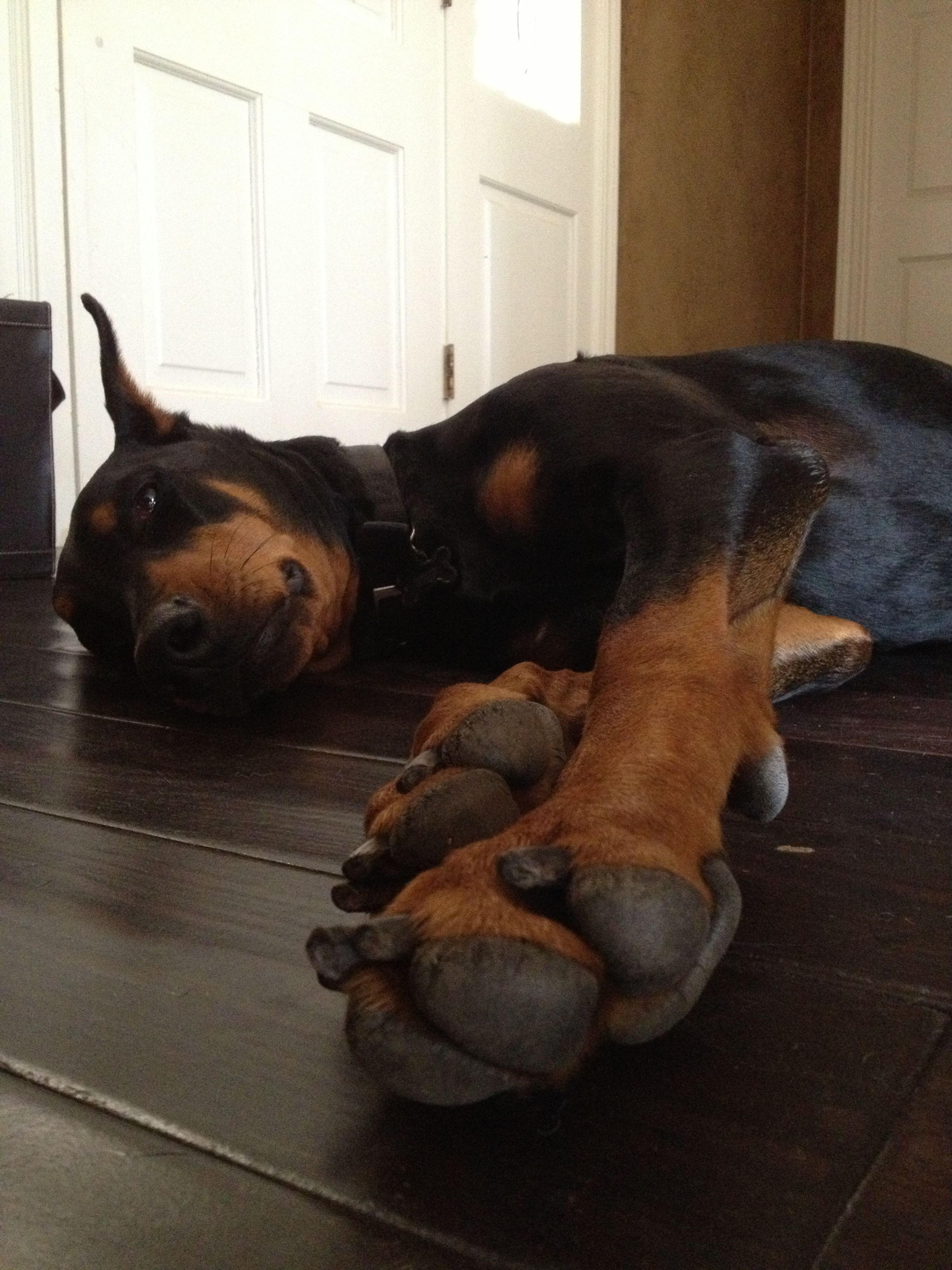 Tired Doberman. Looks exactly like my little girl after a