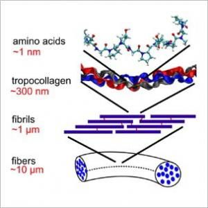 Math Model Could Aid Study Of Collagen Ailments | Math. Collagen. Study