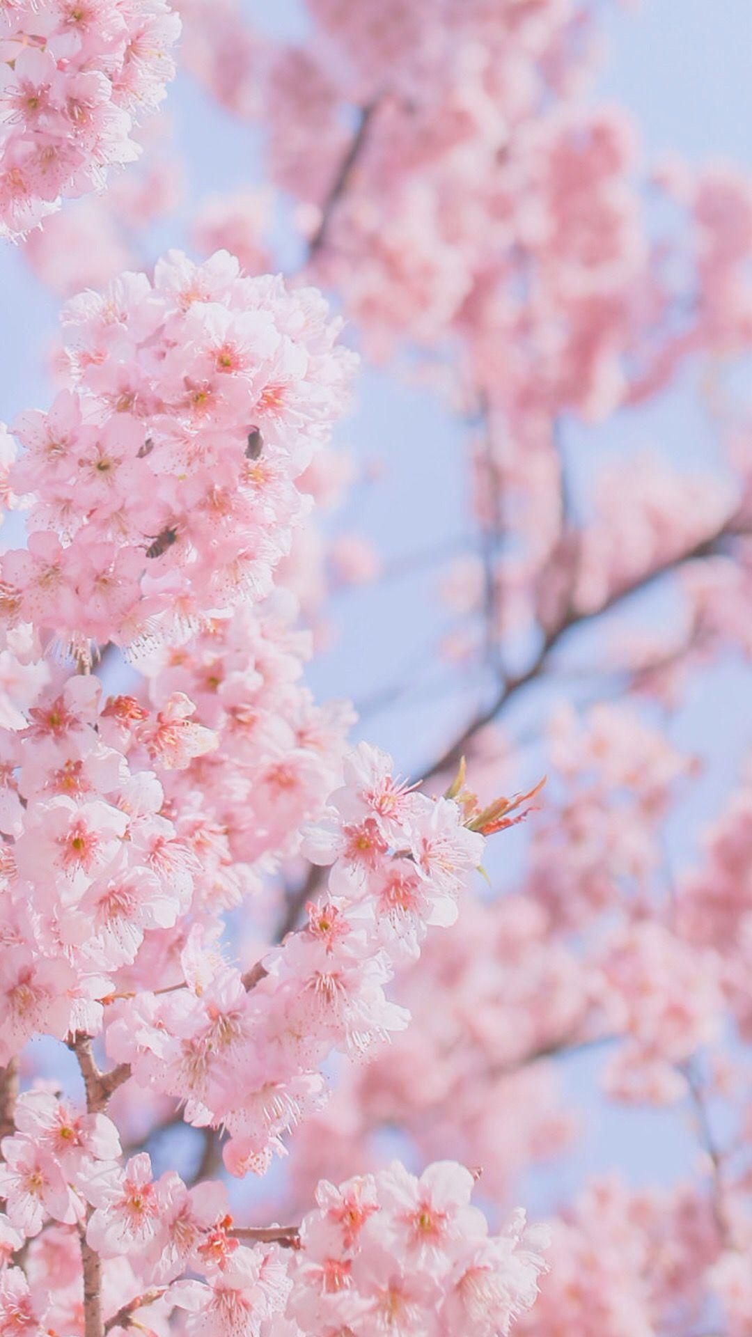 Pin By Santa Beiere On Ssl รร ɱ թeasђeʂ Aภ Sɾea๓ Cherry Blossom Wallpaper Cherry Blossom Wallpaper Iphone Beautiful Flowers Wallpapers