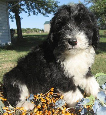 Sheepadoodle Puppy Old English Sheepdog Standard Poodle Hybrid