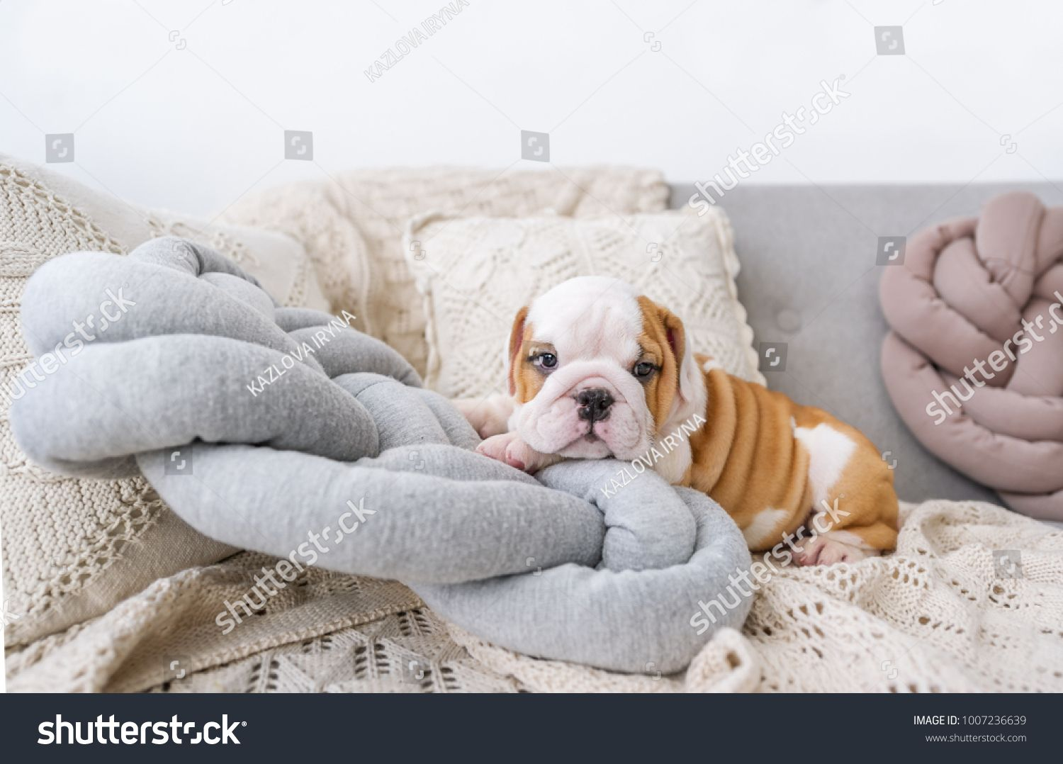 Puppy Of The English Bulldog Lies On White Pillows On A Sofa