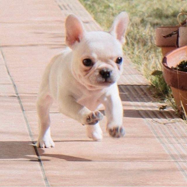 Frenchieleo Franzosische Bulldogge Hunde Tiere