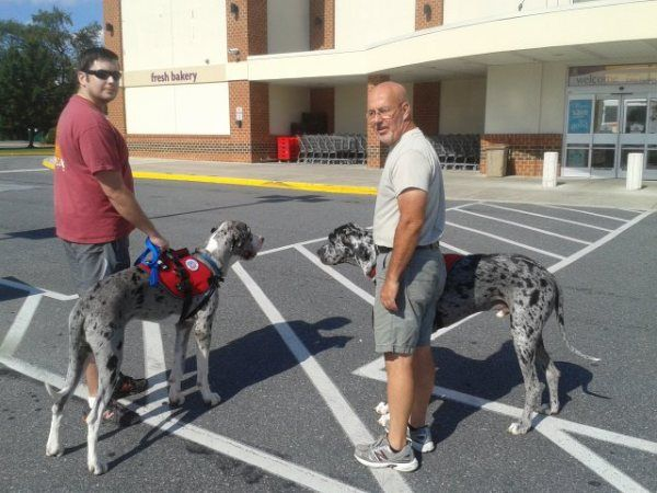 Great Dane Service Dogs Great Dane Puppy Great Dane Service