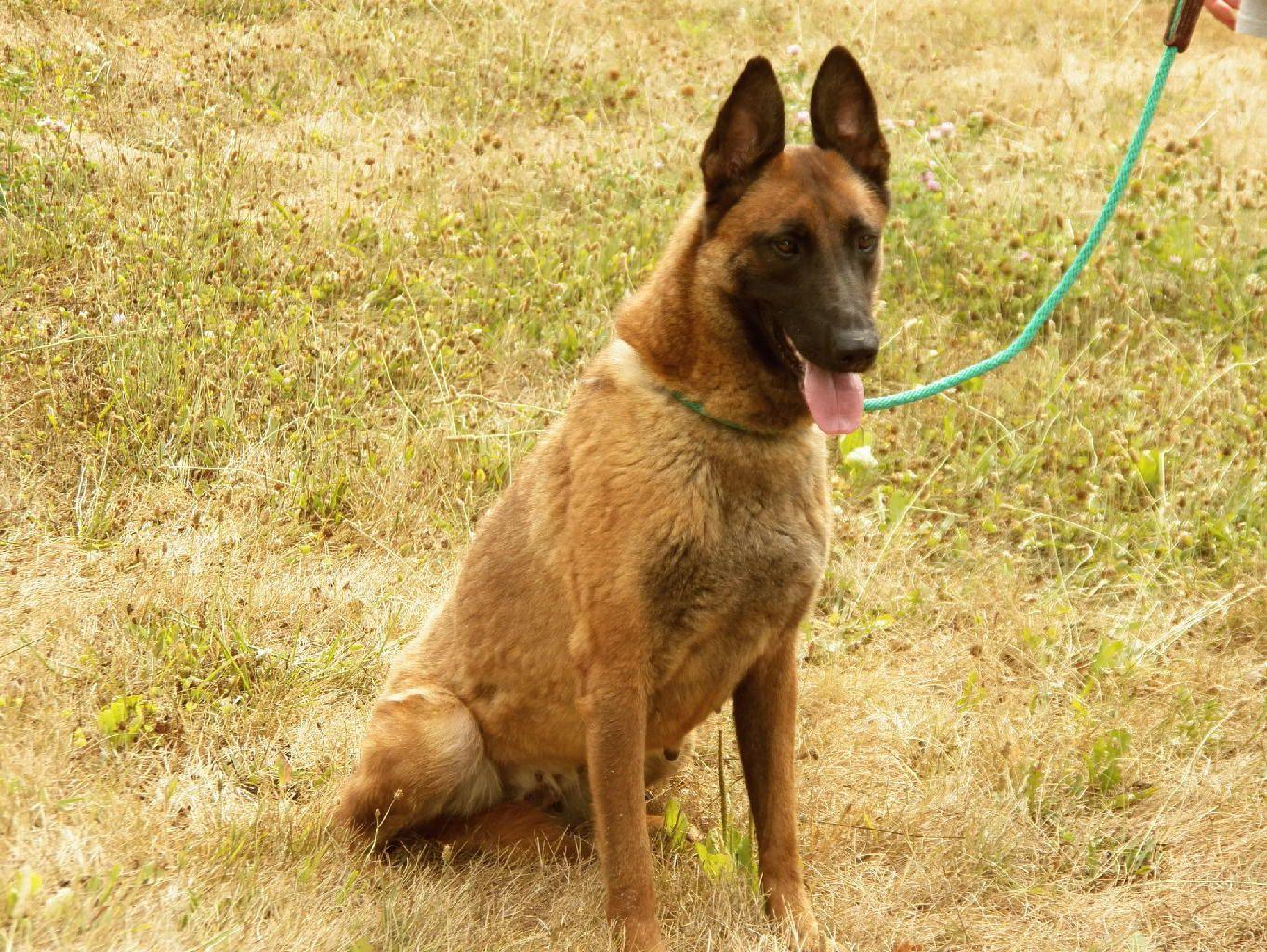 Lionheart Canine Belgian Malinois And Dutch Shepherds Belgian
