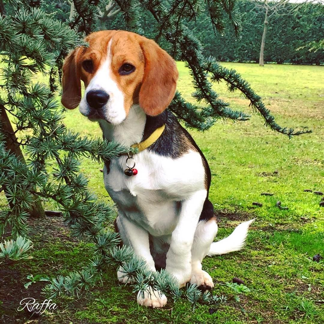 Beagle Friendly And Curious Beagle Puppy Beagle Baby Beagle