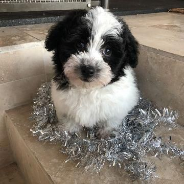 Havanese Puppy For Sale In Houston Tx Adn 57309 On Puppyfindercom