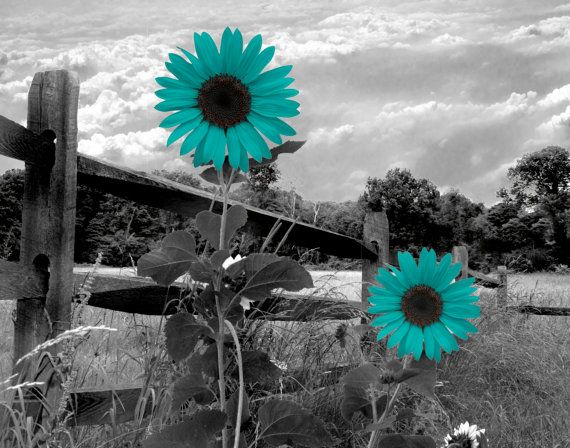 Black White Teal Sunflower Landscape Wall Art by LittlePiePhotoArt ...