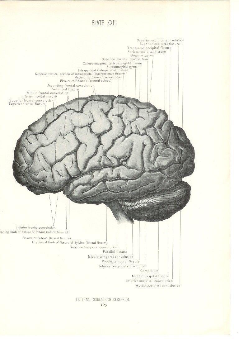 External Surface of Cerebrum (768×1088) | Vintage Science ...