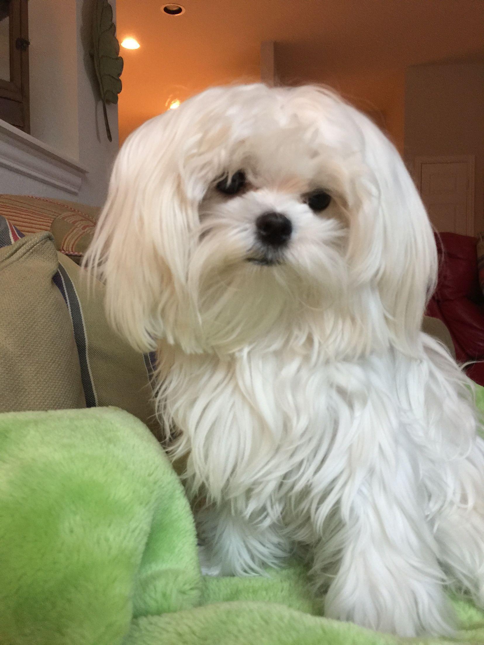 Coconut maltese maltese dogs maltese dogs haircuts