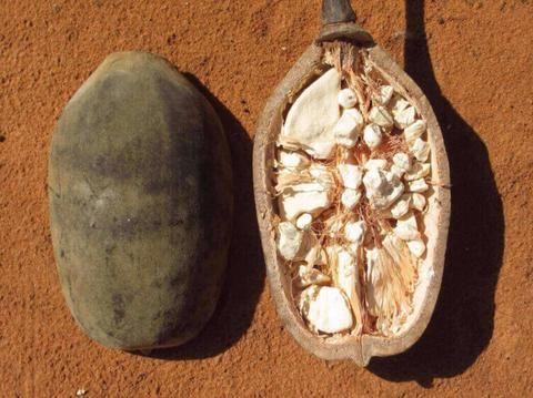 What is Baobab Powder? Contains more Vitamin C than an orange! #superfood - Baobab fruit PandaVita