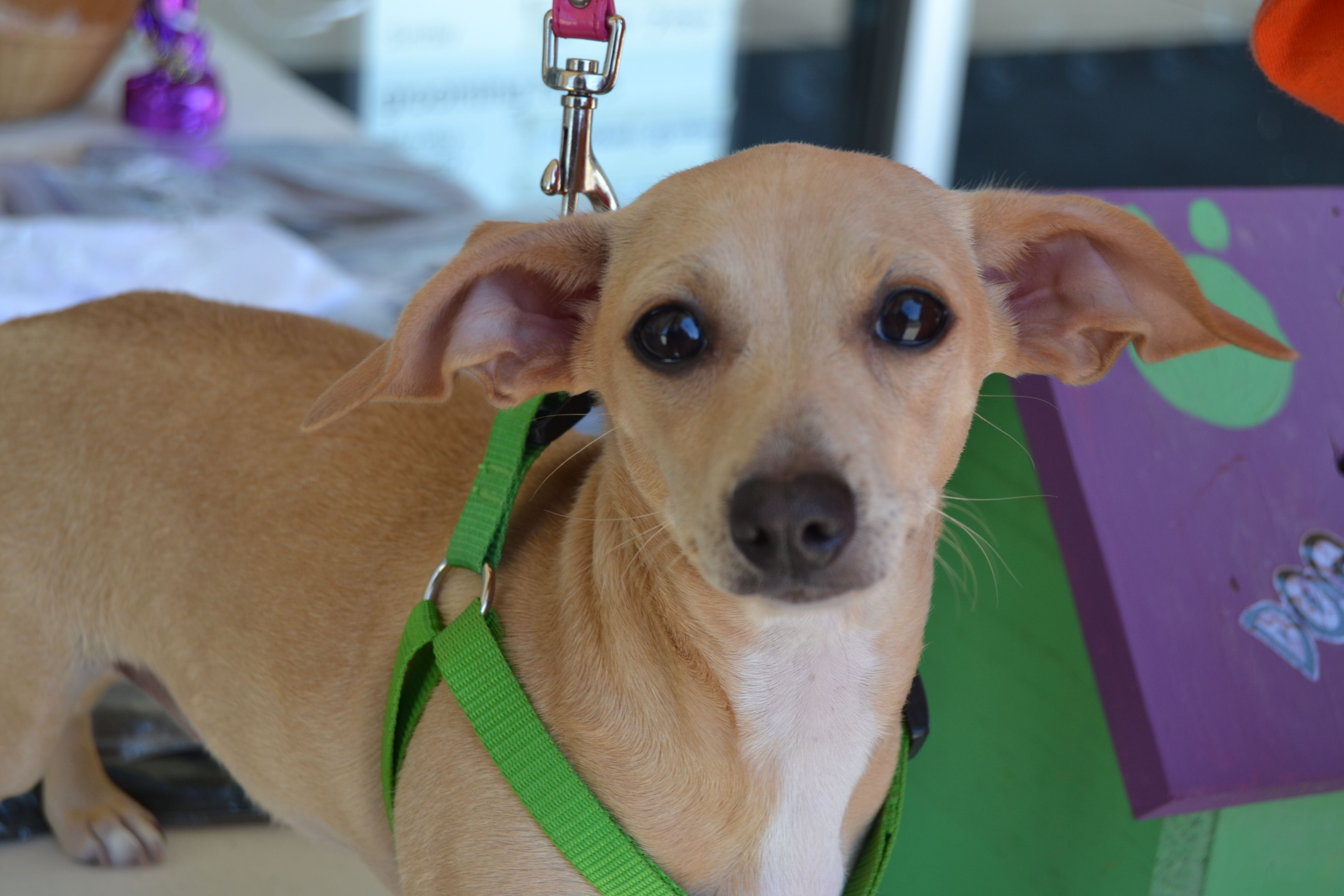 Chiweenie Dog For Adoption In Florence Al Adn 543705 On