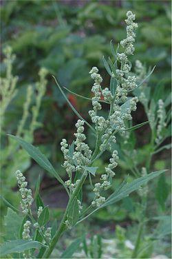 Jauhosavikka voi kasvaa jopa 150 cm korkuiseksi. Sen kierteiset lehdet ovat usein likaisen harmaanvihreät ja kasvin nuoret osat jauhoiset. Viihtyy asutuksen lähellä pihoilla ja pelloilla. Voidaan käyttää tuoreena salaateissa sekä muhennoksissa, keitoissa ja munakkaissa. Korkean oksaalihappopitoisuuden vuoksi se sopii parhaiten maitoruokiin. ... Voidaan myös pakastaa ryöpättynä. Nitraattipitoisten kasvupaikkojen takia sen käytössä kuitenkin pitää olla varovainen.