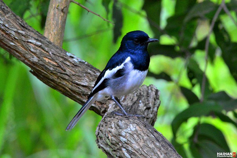 Oriental Magpie Robin (Copsychus saularis) 04
