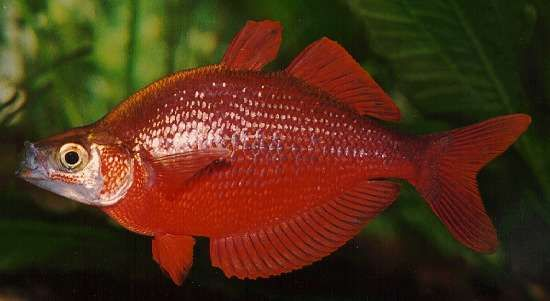 Colorful Tropical Fish Pictures Red Rainbow Glossolepis Incisus Fish Tropical Fish Pictures Rainbow Fish