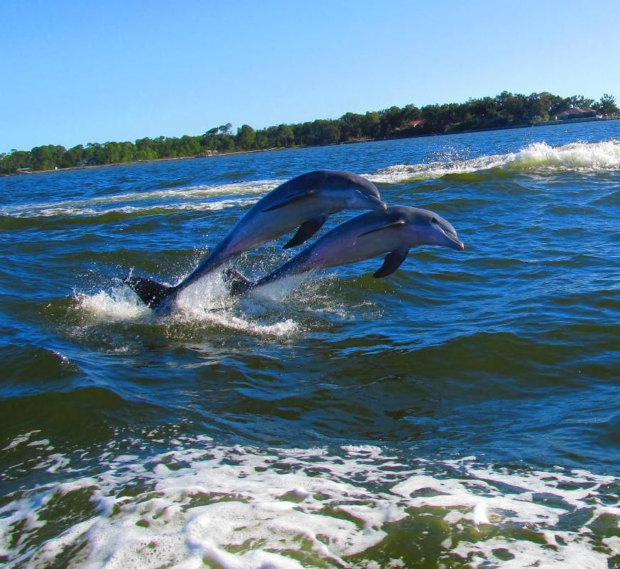 Dolphins In Orange Beach Al