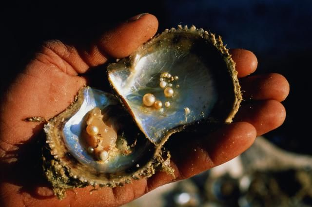 How Mollusks Make Pearls | Pearls and Learning