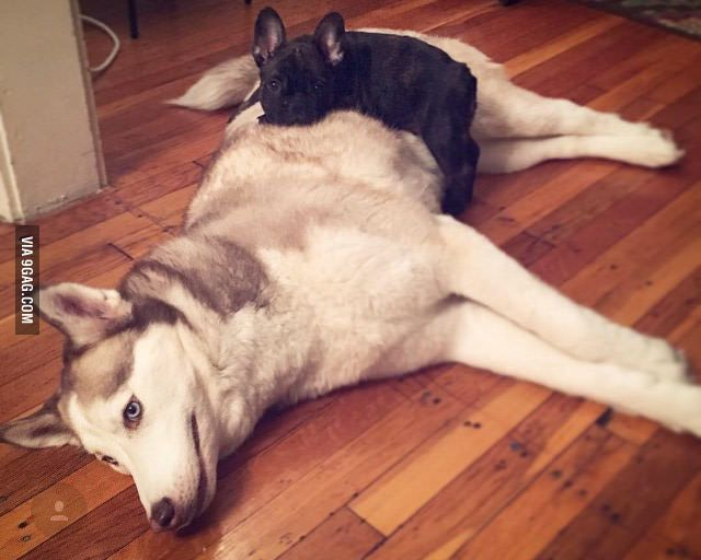 French Bulldog Puppy Designated The Husky As His New Bed
