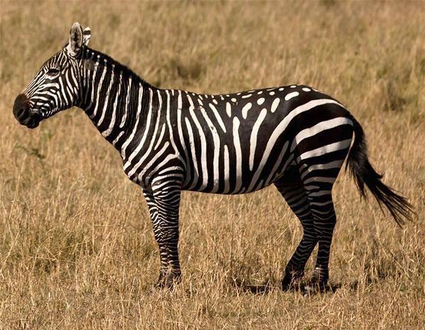 En zebra…med pletter?!? (© Paul Goldstein/Rex Features)