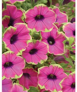 i really love these purple petunias with a lime green rim!