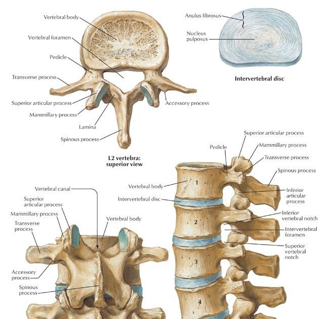 La misma esta formada por las 5 vertebras lumbares y sus respectivos ...