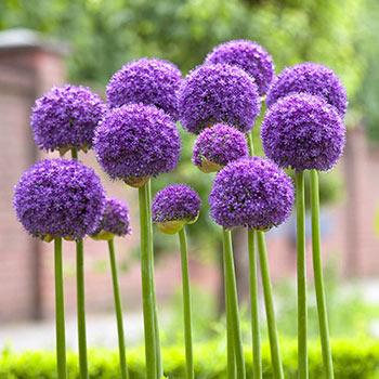 Buy Gladiator Allium Best Deals On Spring Bulbs Breck S In 2020 Allium Flowers Garden Bulbs Plants