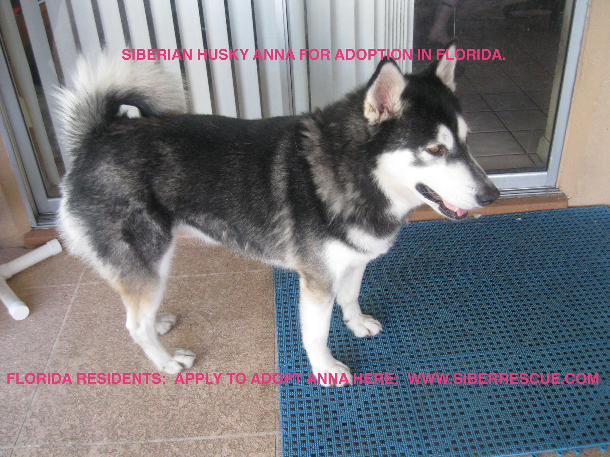 Adopt Beautiful Florida Siberian Husky Anna From Our Fl Dogrescue Www Siberrescue Com Husky Adoption Wolf Dog Husky