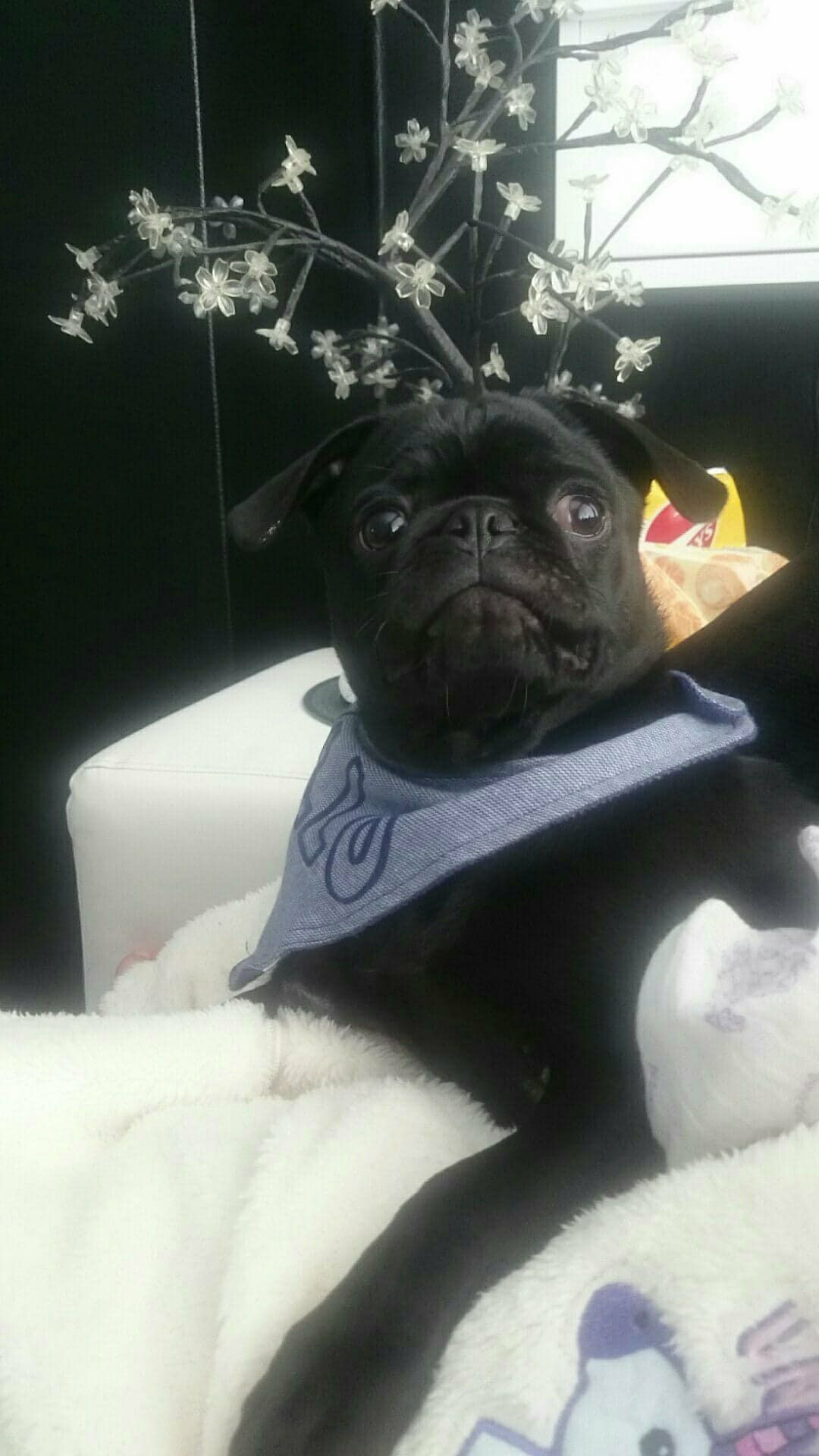Max 6 Months Old Best Of Pug S Home Pugs Pug Names Pug Puppies