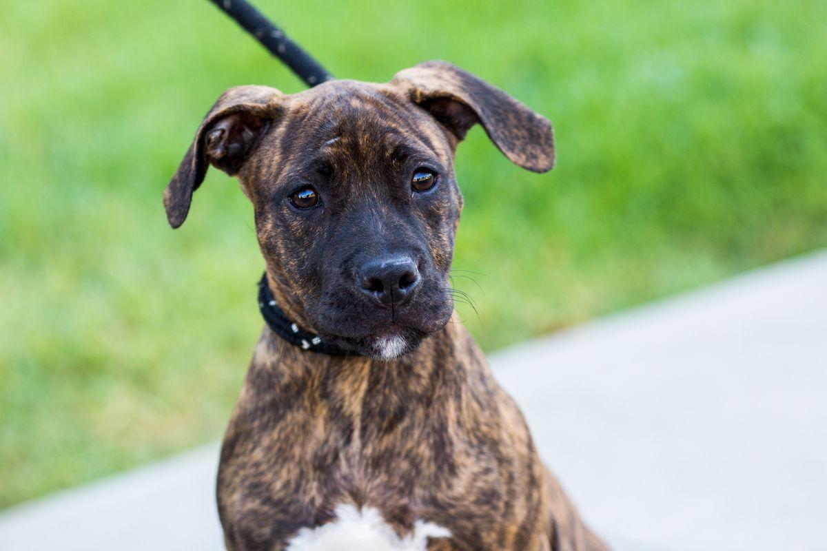 Boxer Puppies Michigan Adoption 2021