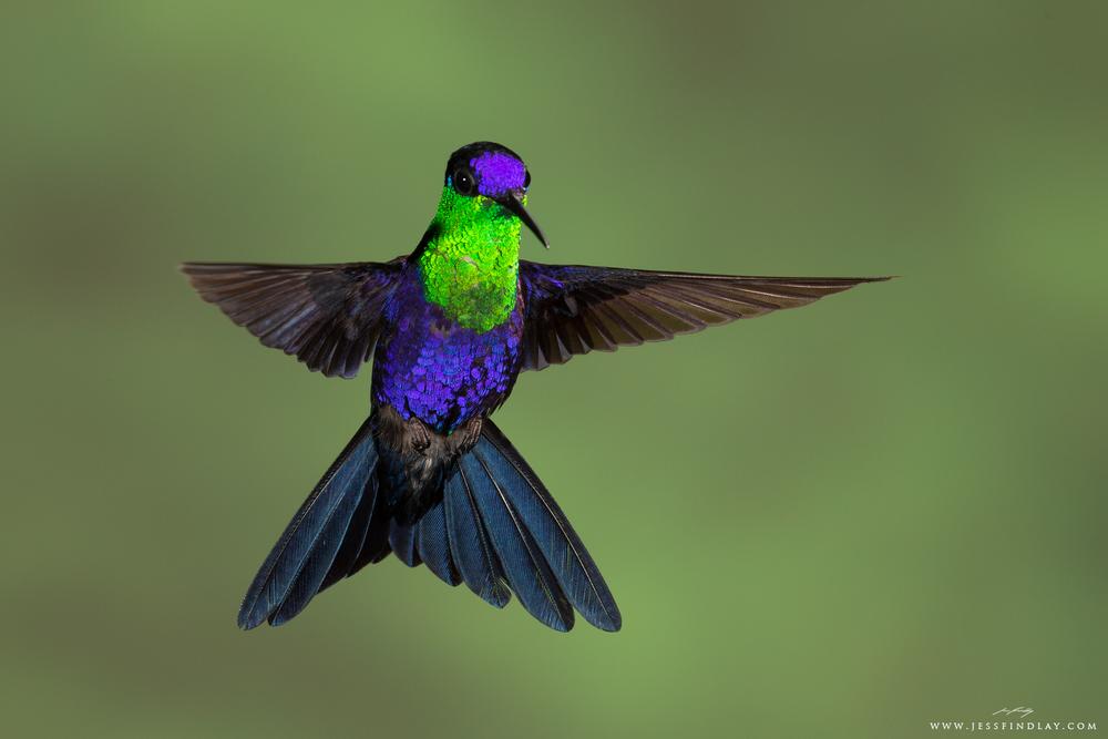 Jess Findlay Photography The 15 Most Spectacular Hummingbirds Hummingbird Pet Birds Birds