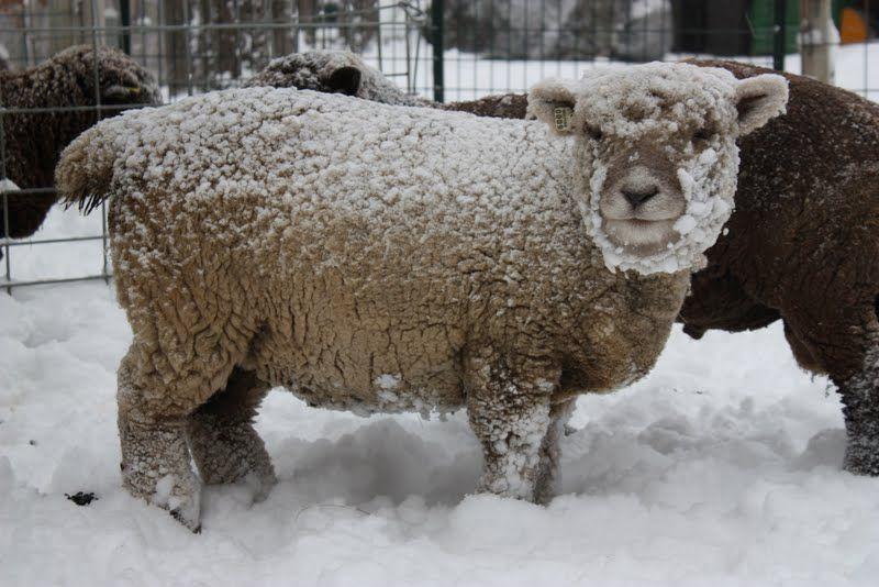 """""""Kida"""" Babydoll Southdown sheep www.kellanefarm.com"""