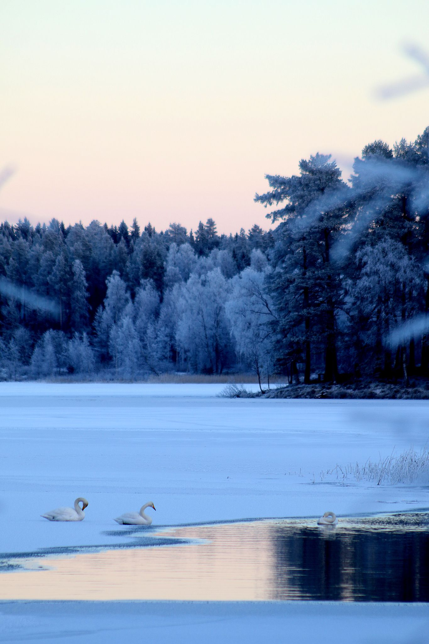 Mutkalla - Joutsenia Koljonvirralla 30. joulukuuta 2015.